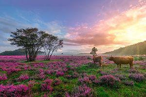 Sonnenaufgang auf dem lila Heidekraut in Bussem von Rens Marskamp