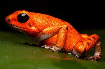 poison dart frog macro pumilio von Mark Verhagen