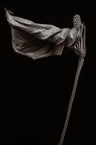 Getrocknete Flamingoblume - Anthurium von Steffen Sebastian Schäfer