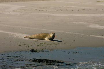 Zeehond op Ameland van Brian Morgan