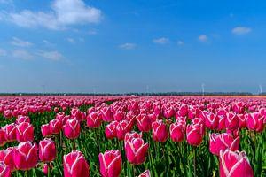 Tulpen in de Flevopolder