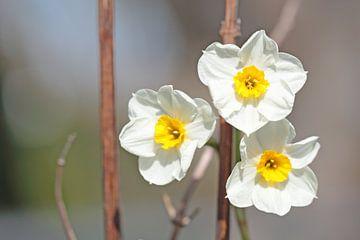 Trio narcissen wit met geel van Ronald Smits