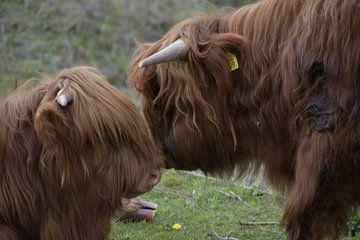 Schotse Hooglanders Echtpaar van Truckpowerr