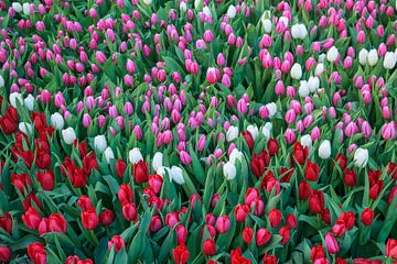 Tulpenpracht von Stefania van Lieshout