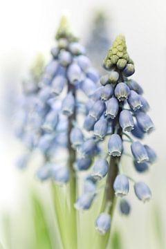 Grape Hyacinth VI (bloem, blauwe druifjes) sur Bob Daalder