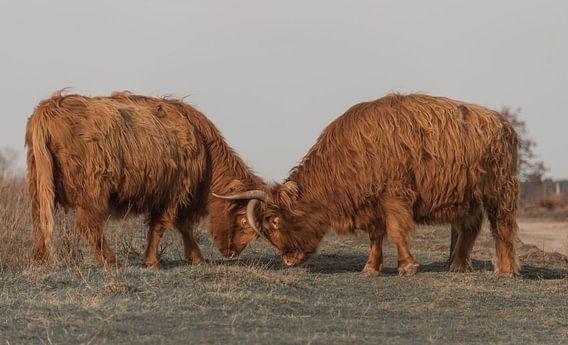 Vechtende Schotse Hooglanders