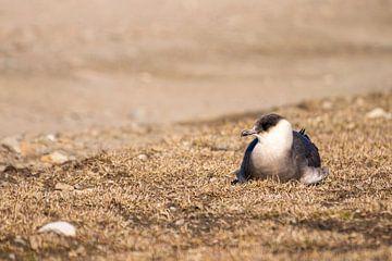 Jager in rust op Spitsbergen. van Merijn Loch