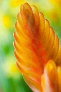 Bromelia vriesea van