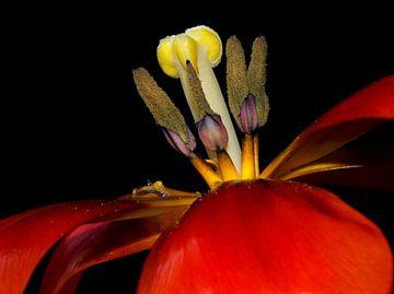 tulpenfeuer von Vera Kämpfe