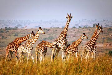 Giraffen in het wild in Oeganda van W. Woyke