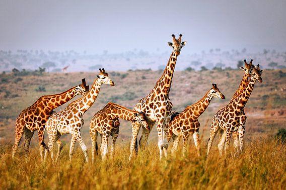 Giraffen wildlife in Uganda