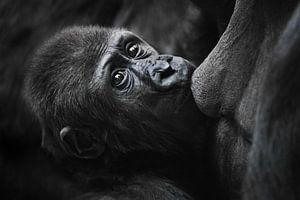 Ernstige babygorilla in profiel met stralende ogen drinkt melk, zuigt aan moeders borst, close-up van Michael Semenov
