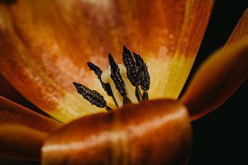 Holländische Tulpe von Desiree van den Burg