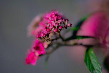 fuchsia macro van Tania Perneel