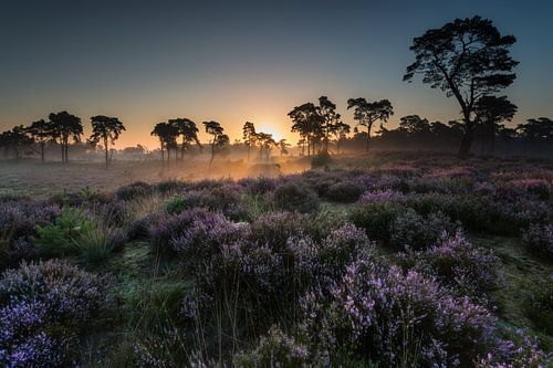 Purple Haze - Kalmthoutse Heide