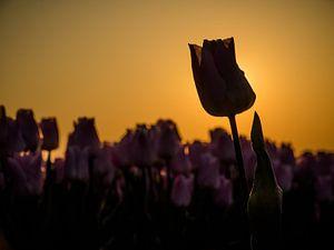 Eine Tulpe mit Hintergrundbeleuchtung