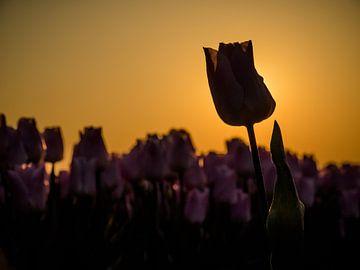 Une tulipe avec rétro-éclairage sur