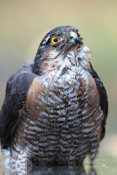 Close-up van een mannetjes sperwer. von Astrid Brouwers