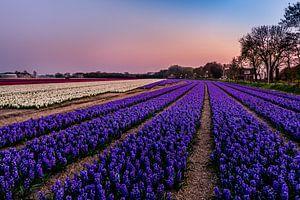 Hyacinth fields in Noordwijk at Springtime! van