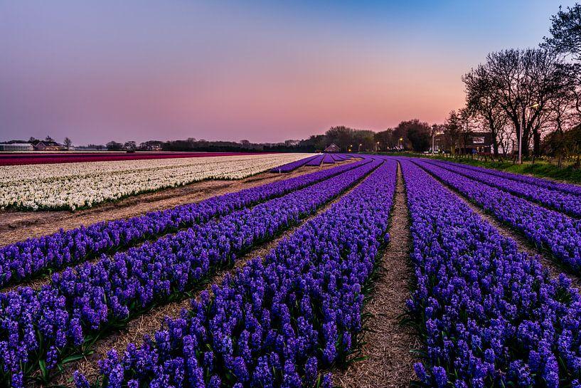 Hyacinth fields in Noordwijk at Springtime! van Carla Matthee
