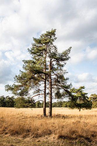 Een dennenboom staat in het hoge gras van de Veluwe.