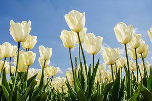 Tulpen in de noordoostpolder van