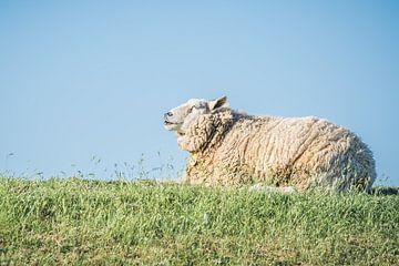 Schafe zählen... von Anita Kabbedijk