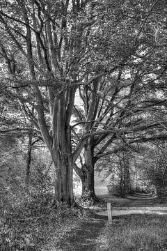 alte Bäume von 8eleven
