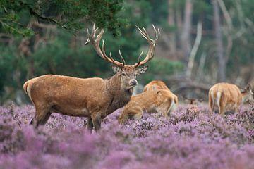 Edelhert  tussen de Heide. van Rob Christiaans