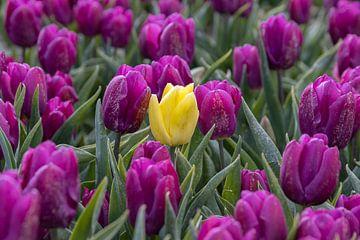 Gelbe Tulpe zwischen lila Tulpen von Sander Groenendijk