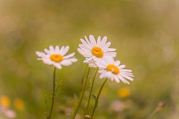 Gänseblümchen von Tania Perneel