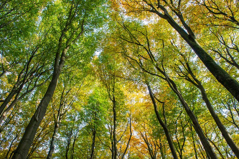 Beech Forest Trees Autum Kaapse Bossen van Daan Kloeg