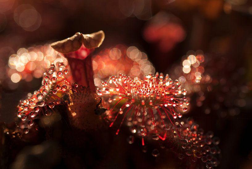 Wonderlijke wereld van de Zonnedauw van Birgitte Bergman