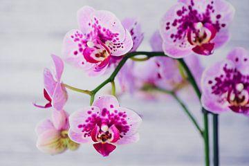 Schmetterlingsorchidee von C. Nass