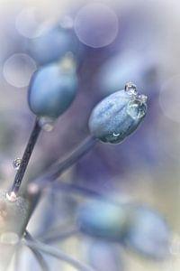 Underneath A Blue & Cloudless Sky ... (bloem, blauwe druifjes)