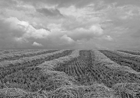 Harvested straw
