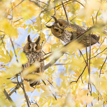 Photo d'automne | Deux curieux hiboux à longues oreilles dans un érable à sucre sur Servan Ott