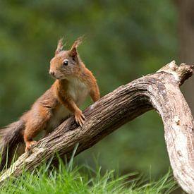 Eekhoorn om tak van Maja Ooms