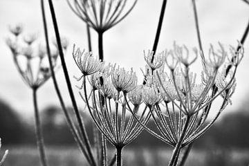 Plant/bloem met vorst in de winter, black en white foto van Marie-Claire Aling