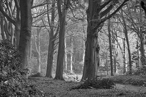 Beukenbos in zwart-wit