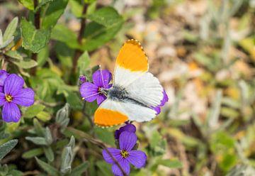 Aurorafalter auf einer Blume von Animaflora PicsStock