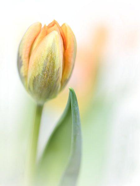 It feels good.... (new edit)  (bloem, tulp)