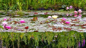 Kleurige waterlelies van Paula van den Akker
