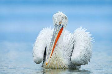 Porträt eines Pelikans von Gladys Klip