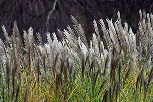 The Wind That Shakes The Reed