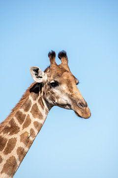 Giraffe von Nico Hochberger