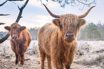 Twee Schotse Hooglanders zeggen gedag van Miranda Heemskerk