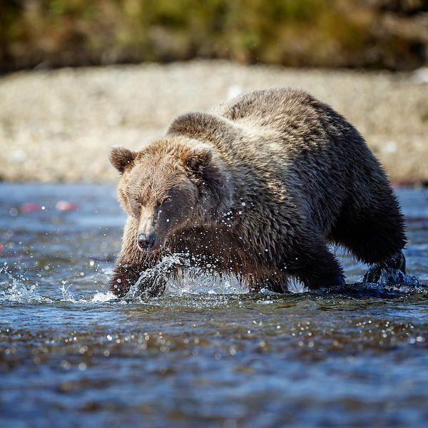 Brown bear  von Menno Schaefer