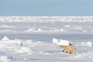 IJsbeer op weids ijslandschap