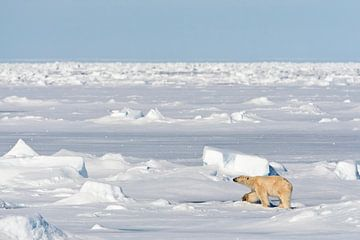 IJsbeer op weids ijslandschap van AGAMI Photo Agency